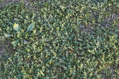 Zielony paśnik Z Zielarskiego Robert liśćmi I ostrzami trawa Obraz Stock