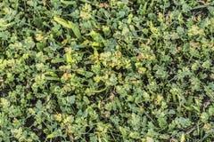 Zielony paśnik Z Zielarskiego Robert liśćmi I ostrzami trawa Obrazy Stock
