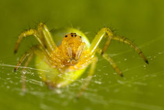 Zielony pająk Zdjęcia Stock
