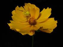 Zielony pająk na żółtym kwiacie Fotografia Royalty Free