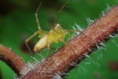 zielony pająk fotografia stock
