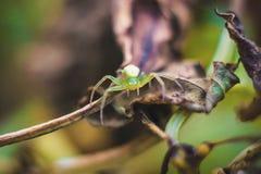 Zielony pająk Obrazy Stock