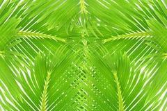 Zielony palmowy kokosowy drzewo opuszcza teksturę Obrazy Royalty Free
