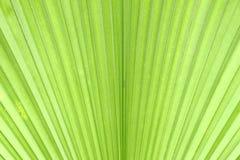 Zielony palmowy liść Zdjęcia Royalty Free