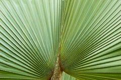 Zielony palmowego liścia tło Fotografia Royalty Free