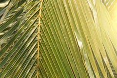 Zielony Palmowy liść i słońce Zielony tło drzewka palmowe egzot zdjęcia stock