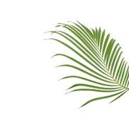 Zielony Palmowy liść na Białym tle Obrazy Stock