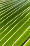 Zielony palmowy liść przy Azja Fotografia Stock