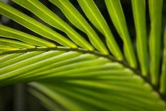 Zielony palmowy liść przy Azja Zdjęcia Stock