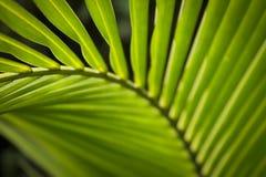 Zielony palmowy liść przy Azja Zdjęcie Stock