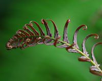 zielony paproć liść Zdjęcie Stock