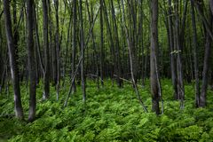 Zielony paprociowy dywan w pokojowym lesie zdjęcia stock