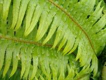 Zielony paprociowy liść z wodnymi kropelkami Zdjęcie Stock
