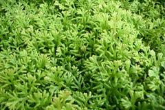 Zielony paprociowy tło - Selaginella involvens (Sw ) Wiosna Fotografia Stock