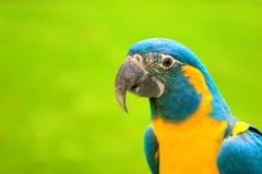 zielony papuzi żółty Obraz Royalty Free