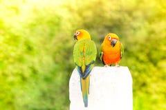 Zielony papuzi lovebird Zdjęcia Royalty Free
