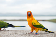 Zielony papuzi lovebird Fotografia Royalty Free