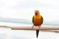 Zielony papuzi lovebird Obraz Stock