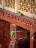 Zielony Papuzi ptak przy Agra fortu ścianą - Agra, India Zdjęcia Royalty Free