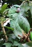 zielony papuzi tropikalny Obrazy Royalty Free