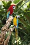 zielony papuzi tropikalny las deszczowy dwa Fotografia Royalty Free