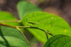 Zielony pasikonik Fotografia Royalty Free