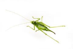 Zielony pasikonik na bielu Zdjęcia Royalty Free
