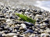 Zielony pasikonik na plaży Obraz Royalty Free