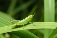 Zielony pasikonik na zielonym liściu Zdjęcie Royalty Free