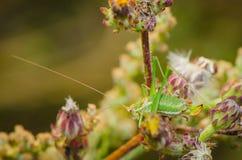 Zielony pasikonik pozuje dla kwiatów na Zdjęcia Royalty Free