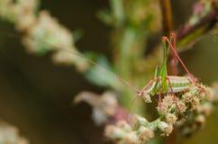 Zielony pasikonik pozuje dla kwiatów na Fotografia Royalty Free