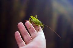 Zielony pasikonik w ręce Obraz Royalty Free