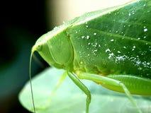 zielony pasikonika liść obrazy royalty free