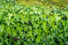 Zielony pełzacz rośliny bluszcz zakrywający na ścianie jako tekstura lub tło Zdjęcia Royalty Free