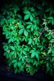 Zielony pełzacz Fotografia Stock