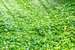 Zielony pięcie zasadza tło z światłem słonecznym Obraz Royalty Free