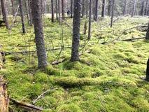Zielony piękny jaskrawy - zielone muldy zakrywać z miękkim puszystym mech na bagnie w iglastym lesie i bagażnikach drzewa obraz stock