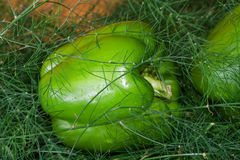 zielony pieprz Obraz Royalty Free