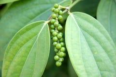 zielony pieprz Obraz Stock