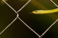Zielony podwiązka wąż Obrazy Stock