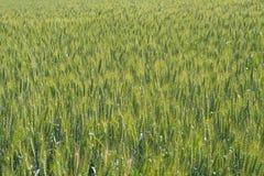 Zielony pole żyto w lata słońcu Obraz Stock
