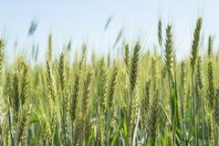 Zielony pole żyto w lata słońcu Zdjęcia Stock