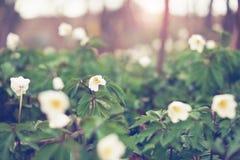 Zielony pole biały anemon fotografia stock