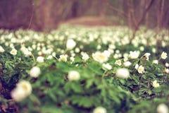 Zielony pole biały anemon fotografia royalty free