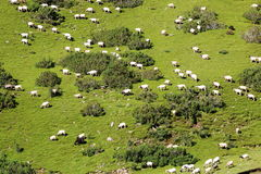 Zielony pole i kózki przy Tybet Obraz Stock