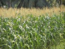 Zielony pole kukurydzany dorośnięcie up Obrazy Stock