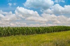 Zielony pole narastająca kukurudza Zdjęcia Royalty Free