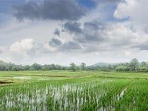 Zielony pole ryż flancy roślina z niebieskim niebem zdjęcia stock