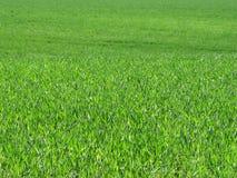 Zielony pole trawy falowanie wiatrem Zdjęcie Royalty Free