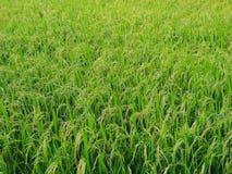 Zielony pole uprawne jako tło, pomysłu rolnictwo obraz royalty free